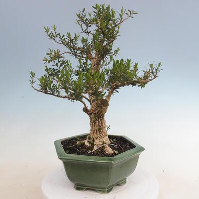 Indoor bonsai - Buxus harlandii - Cork boxwood - 2