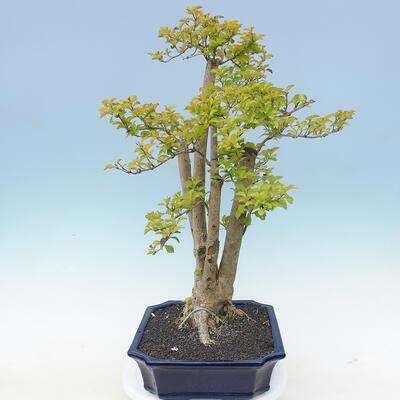 Indoor bonsai - Duranta erecta Aurea - 2