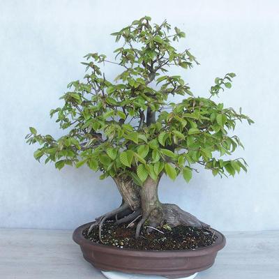 Outdoor bonsai Carpinus betulus- Hornbeam VB2020-485 - 2