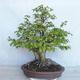 Outdoor bonsai Carpinus betulus- Hornbeam VB2020-485 - 2/5
