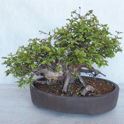 Outdoor bonsai Carpinus betulus- Hornbeam VB2020-487 - 2