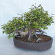 Outdoor bonsai Carpinus betulus- Hornbeam VB2020-487 - 2/5