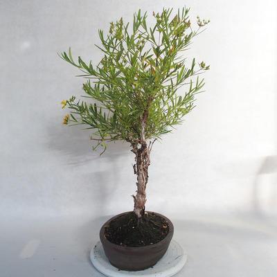 Outdoor bonsai- St. John's wort - Hypericum - 2