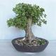 Acer campestre - Baby Maple VB2020-496 - 2/5
