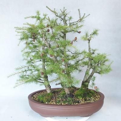 Outdoor bonsai -Larix decidua - Larch - 2
