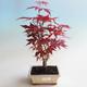 Outdoor bonsai - Acer palm. Atropurpureum-Maple - 2/2