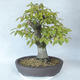 Outdoor bonsai - Hornbeam - Carpinus betulus - 2/5