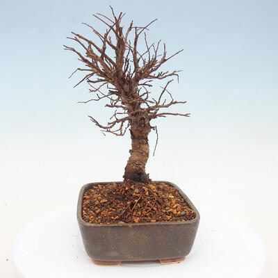Outdoor bonsai - Hornbeam - Carpinus betulus - 2