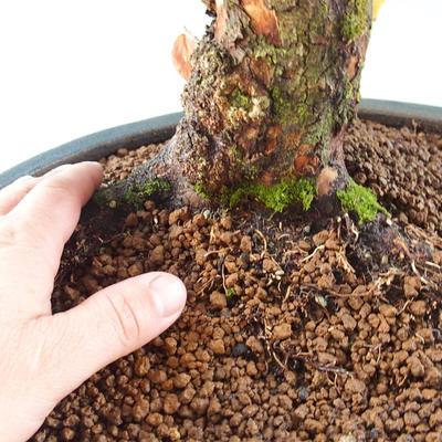 Outdoor bonsai - Dwarf - Cornus mas - 2