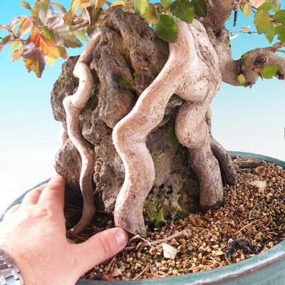 Outdoor bonsai -Carpinus CARPINOIDES - Korean horn - 2