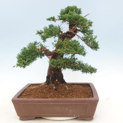 Outdoor bonsai - Juniperus chinensis - Chinese juniper - 2