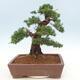 Outdoor bonsai - Juniperus chinensis - Chinese juniper - 2/5