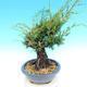 Yamadori Juniperus chinensis - juniper - 2/6