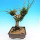 Yamadori Juniperus chinensis - juniper - 2/5