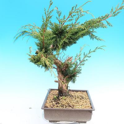 Yamadori Juniperus chinensis - juniper - 2