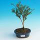 Room bonsai - Serissa foetida Variegata - Strom thousands of stars - 2/3