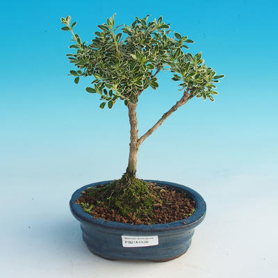 Room bonsai - Serissa foetida Variegata - Strom thousands of stars - 2