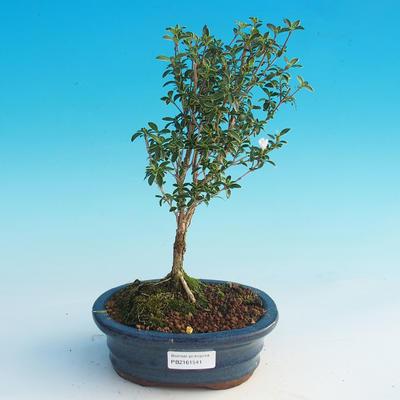 Room bonsai - Serissa foetida Variegata - Strom thousands of stars - 2