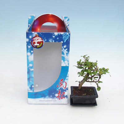 Room bonsai in a gift box - 2