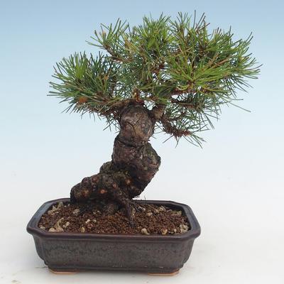 Pinus thunbergii - Thunberg Pine VB2020-572 - 2