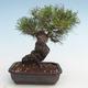 Pinus thunbergii - Thunberg Pine VB2020-572 - 2/5
