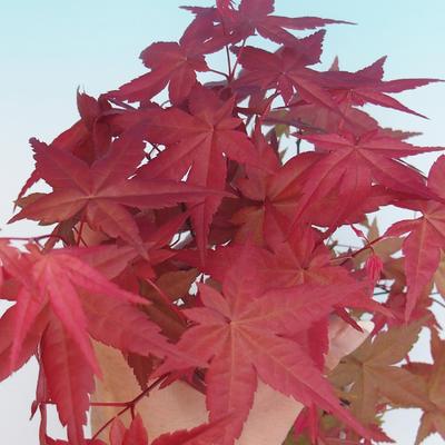 Outdoor bonsai - Palmatum maple DESHOJO - Japanese maple - 2