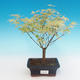 Outdoor bonsai - Japanese maple Acer palmatum Butterfly - 2/2