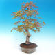 Outdoor bonsai - Acer pamnatum - Japanese maple - 2/5