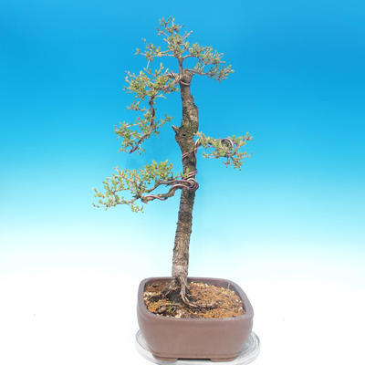 Outdoor bonsai - Larix decidua - Larch deciduous - 2