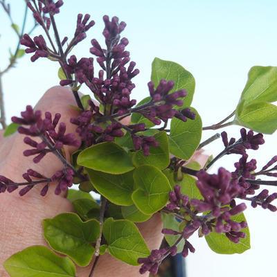 Outdoor bonsai - Syringa velutina josse Pink lilac - 2