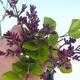 Outdoor bonsai - Syringa velutina josse Pink lilac - 2/2