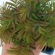 Outdoor bonsai - Two-line bream - 2/4