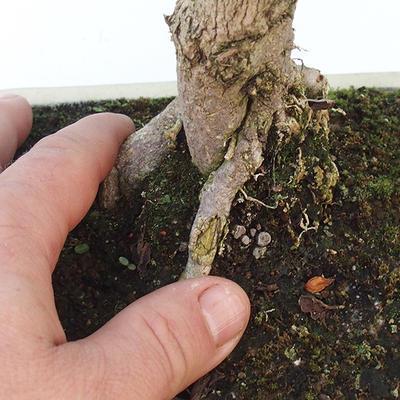Room bonsai - Duranta erecta Aurea - 2