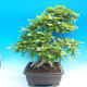 Outdoor bonsai -Carpinus CARPINOIDES - Korean Hornbeam - 2/5