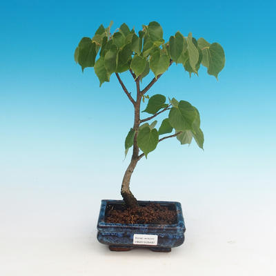 Outdoor bonsai - Small-leaved lime - 2