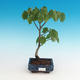 Outdoor bonsai - Small-leaved lime - 2/2