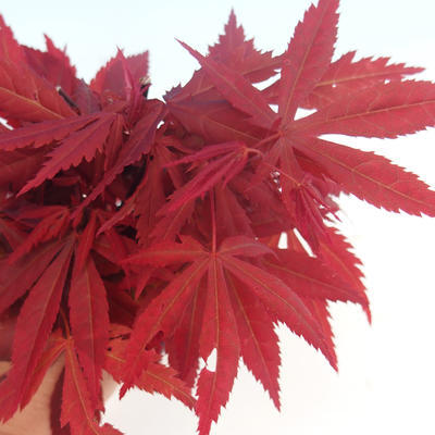 Outdoor bonsai - Acer palm. Atropurpureum - Japanese Maple Red - 2