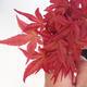 Outdoor bonsai - maple palmatum DESHOJO - Maple dlanitolistý - 2/3