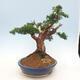 Outdoor bonsai - Juniperus chinensis - Chinese juniper - 2/6