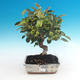 Outdoor bonsai -Malus Halliana - fruited apple - 2/4