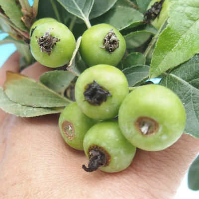 Outdoor bonsai -Malus Halliana - fruited apple - 2