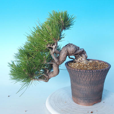 Pinus thunbergii - Thunberg Pine - 2
