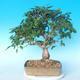 Outdoor bonsai -Carpinus CARPINOIDES - Korean Hornbeam - 2/5