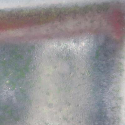 Outdoor bonsai -Carpinus CARPINOIDES - Korean Hornbeam - 2