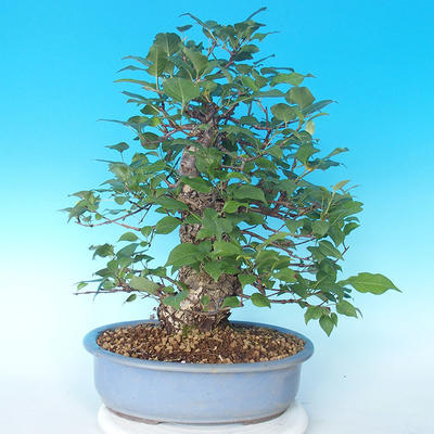 Outdoor bonsai - Japanese pear NASHI - Pyrus pyrifolia - 2