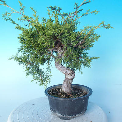 Outdoor bonsai - Juniperus chinensis ITOIGAWA - Chinese Juniper - 2