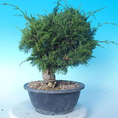 Outdoor bonsai - Juniperus chinensis ITOIGAWA - Chinese Juniper - 2