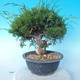 Outdoor bonsai - Juniperus chinensis ITOIGAWA - Chinese Juniper - 2/6