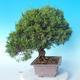 Outdoor bonsai - Juniperus chinensis ITOIGAWA - Chinese Juniper - 2/6