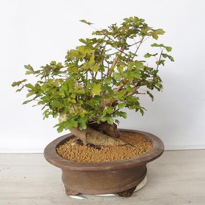 Pinus thunbergii - Pine thunbergova - 2